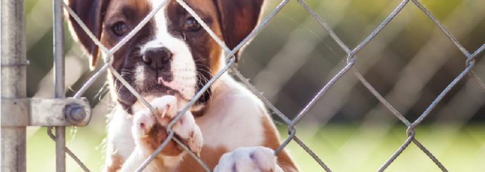 boxer mix dog at a fence